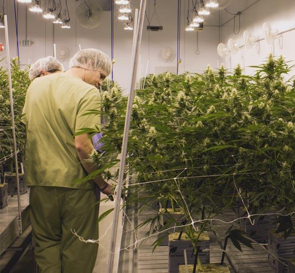 Canuvo Cannabis Growing Facilities